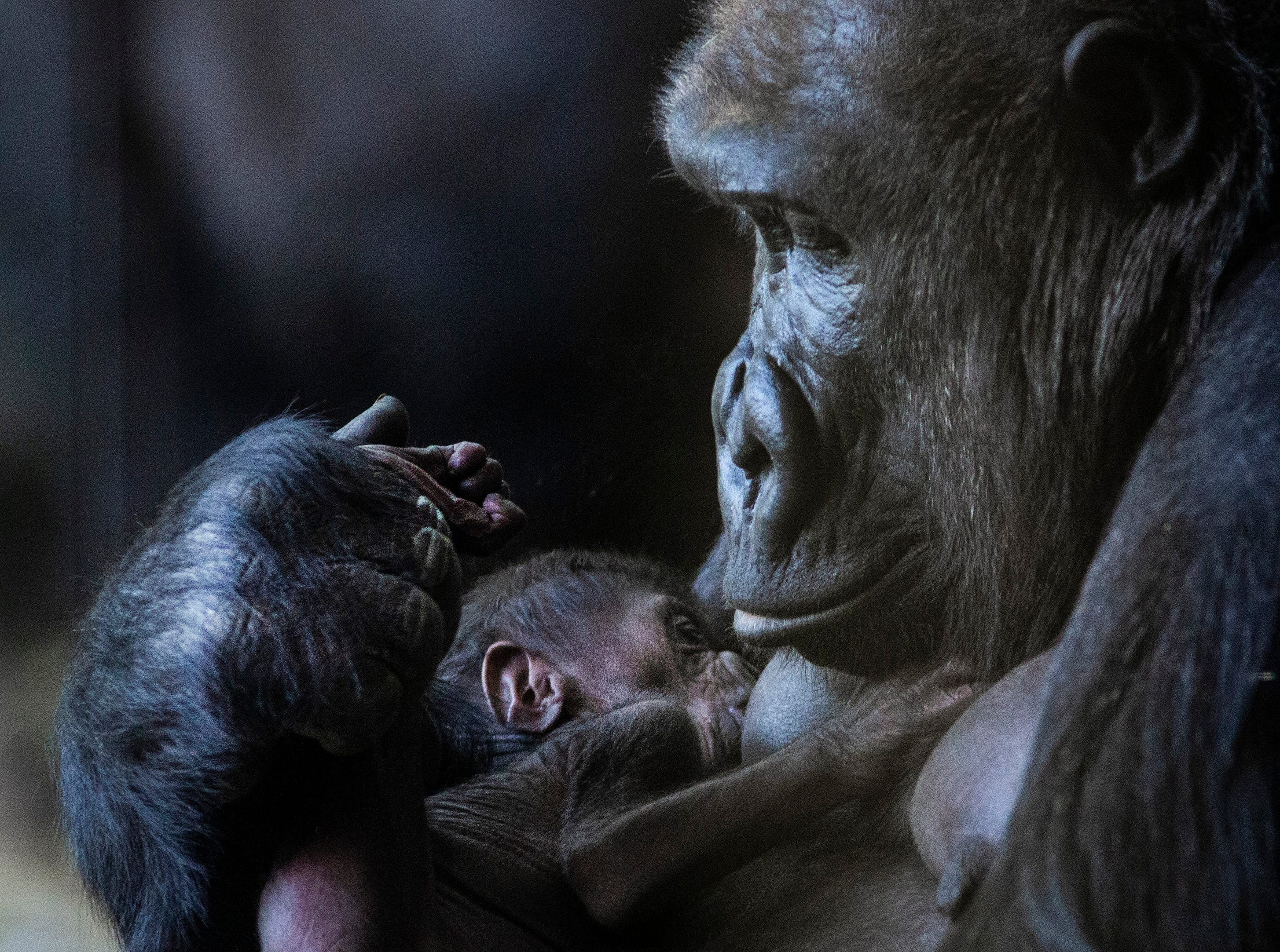 Rollie, a 22-year-old western lowland gorilla, cradles her newborn baby, an unnamed male who was born on Mother's Day at the Regenstein Center for African Apes in Lincoln Park Zoo in Chicago, Tuesday, May 14, 2019.