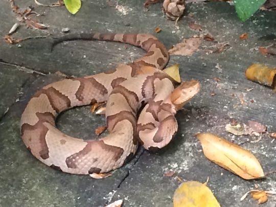 These snakes have gray and brown bands with a copper-colored head.