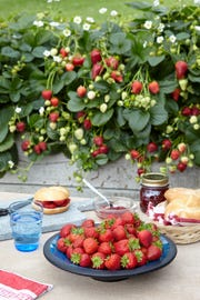 Grow Delizz strawberries in a window box for summer-long fruits.