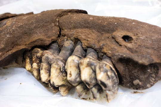 A youth mastodon's jaw bone is displayed temporarily while unwrapped from its plastic covering, Tuesday, May 14, 2019, at the University of Iowa Paleontology Repository on the University of Iowa campus in Iowa City, Iowa.