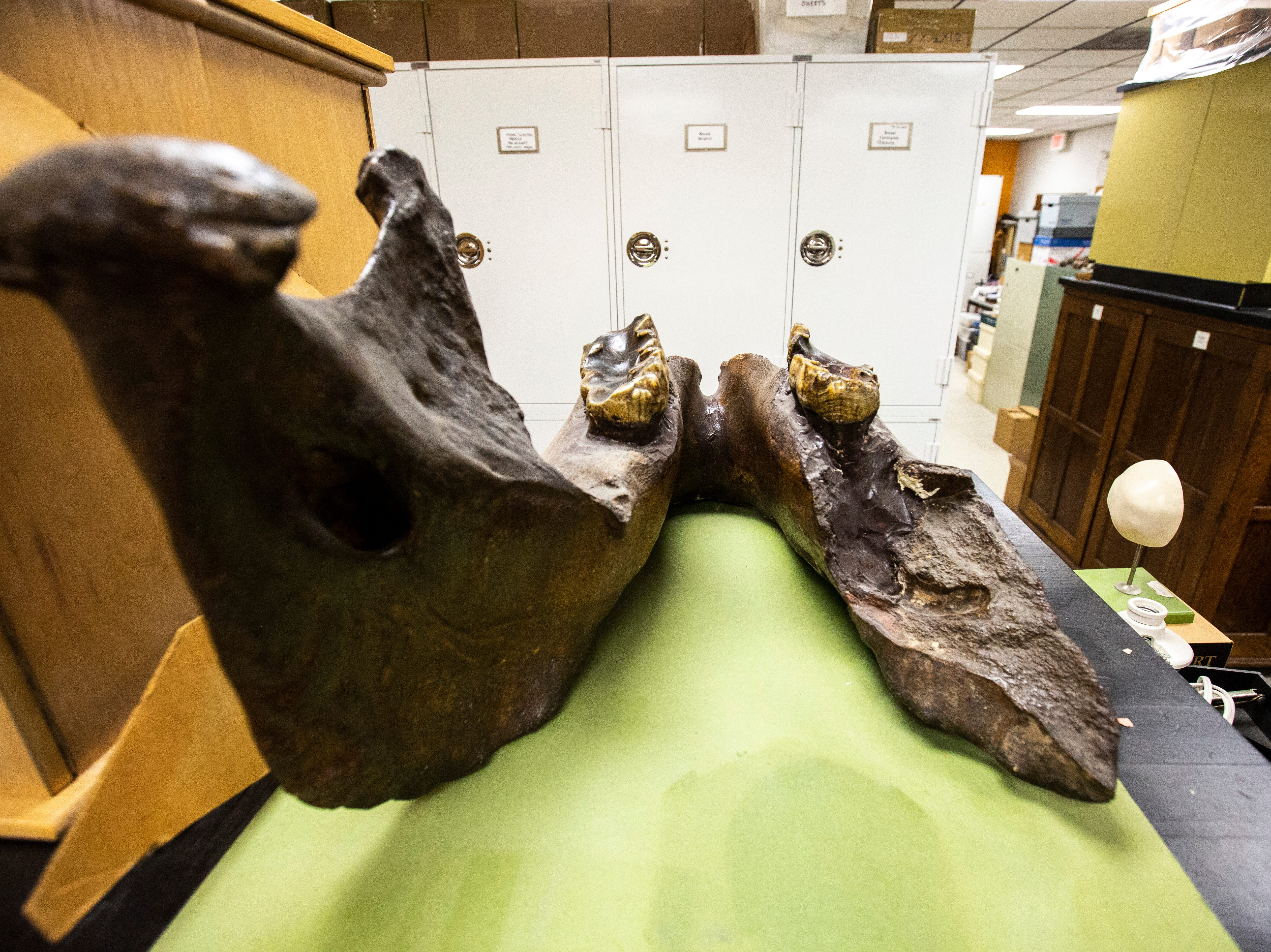 A nearly complete lower jaw bone with worn down teeth of an adult mastodon is displayed, Tuesday, May 14, 2019, at the University of Iowa Paleontology Repository on the University of Iowa campus in Iowa City, Iowa.