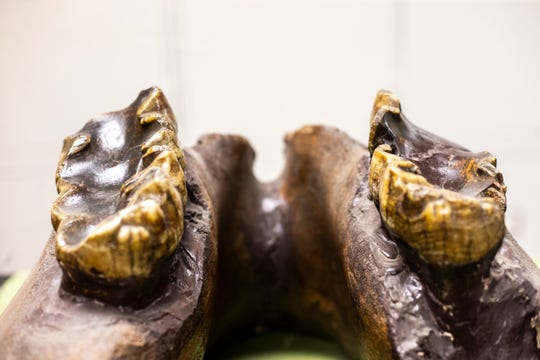 A nearly complete lower jaw bone of a mastodon is displayed at the University of Iowa Paleontology Repository.