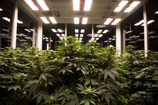 Cannabis plants in a grow room.