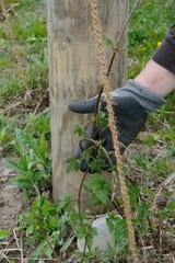 A hops bine is starting to grow up the coconut hair twine at the Dog Star Hops farm in Charlotte Saturday, May 11, 2019.