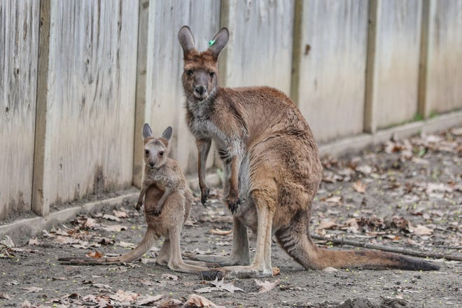 Potter Park Zoo's new baby western grey kangaroo poses with its mother, Gertie. Zookeepers won't know the baby's gender for a couple of months.