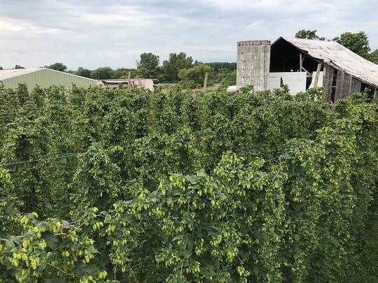 Dog Star Hops farm near Charlotte.