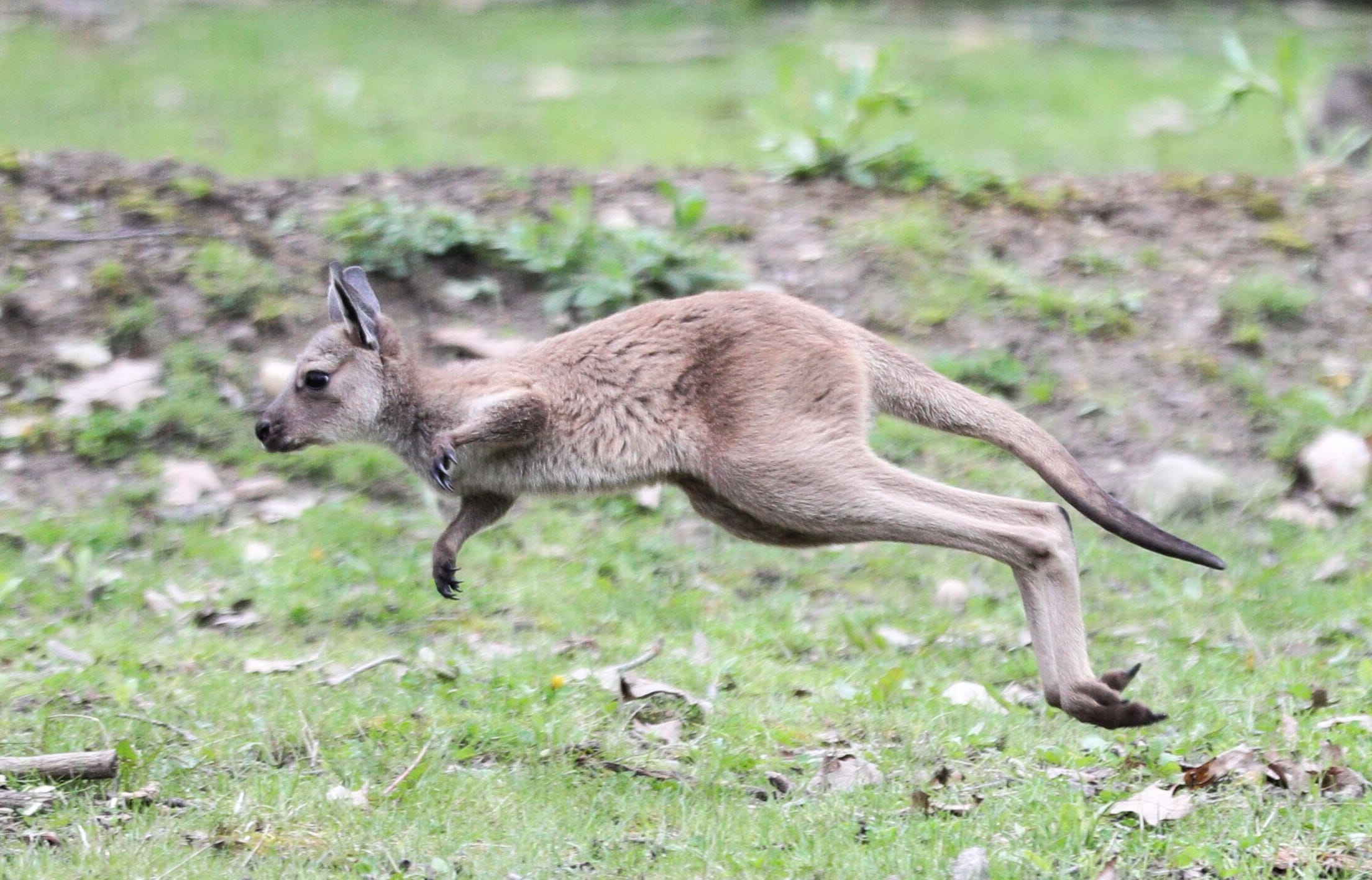 Potter Park Zoo's baby western grey kangaroo started venturing from its mother's pouch over the last week.