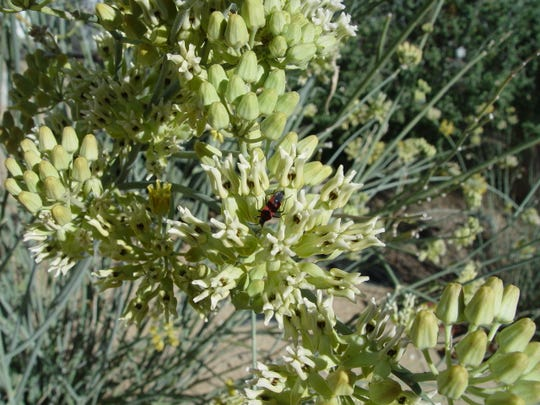 A milkweed bug associated with these curious flower clusters that draw monarch butterflies.