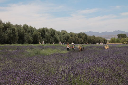 Explore the 20 acres of organic lavender fields and learn more about the popular plant at The Lavender Festival.