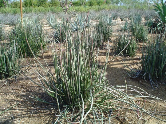 These pedilanthus planted on a grid at Sunnylands demonstrate their curious growth habit.