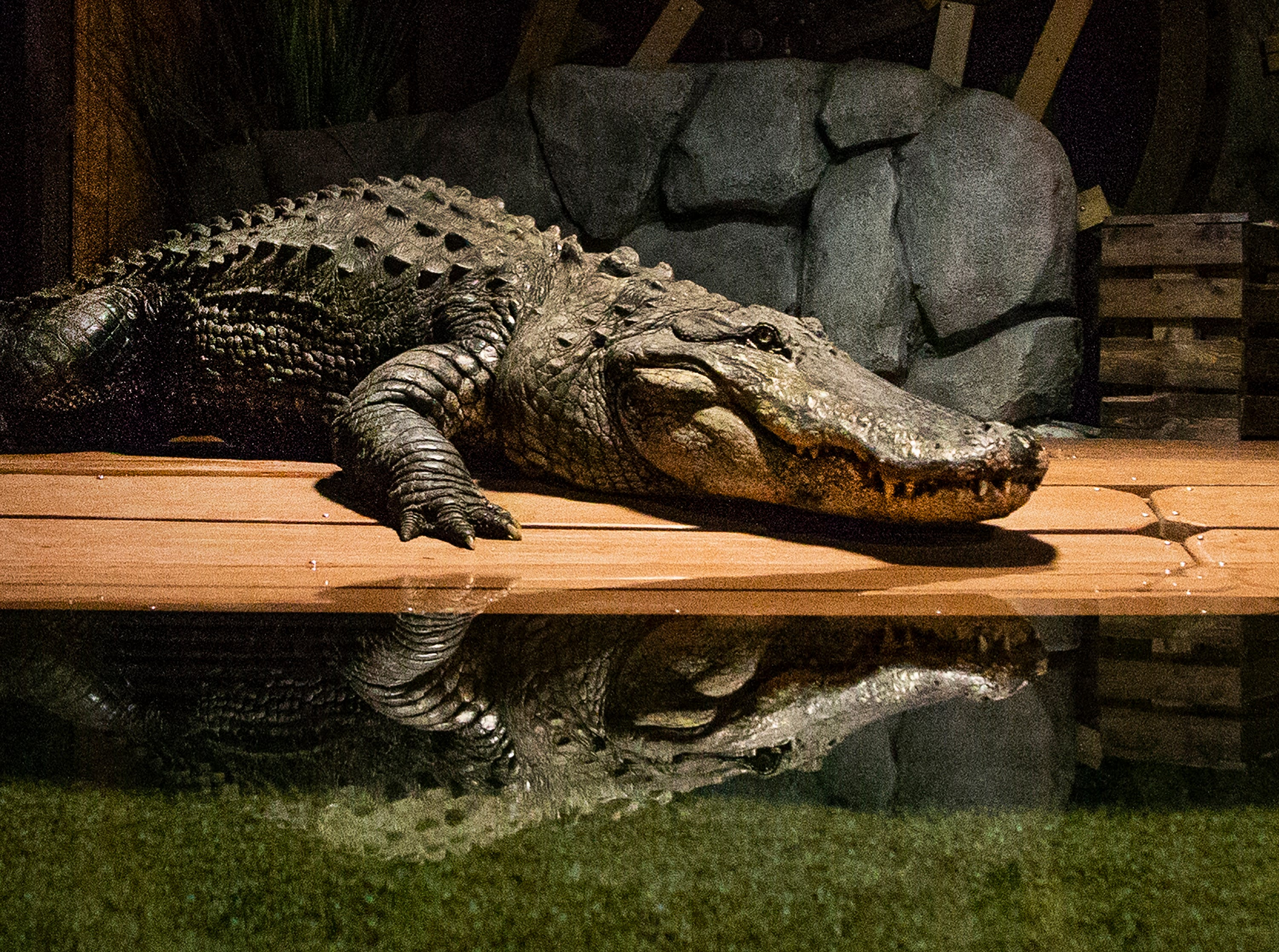Mighty Mike, an 800-pound alligator, is pushed out of his box and into his enclosure at OdySea Aquarium May 13, 2019.