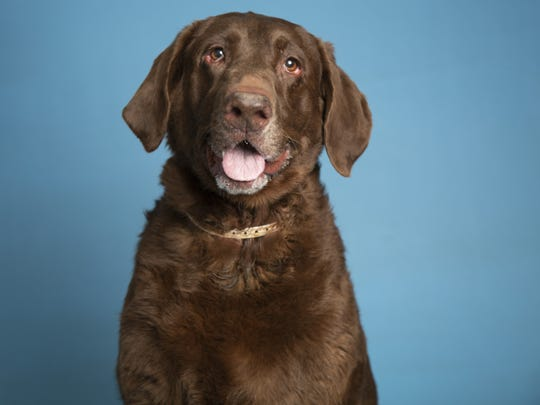 A lovable Labrador and more pets up for adoption in Phoenix-area shelters this week