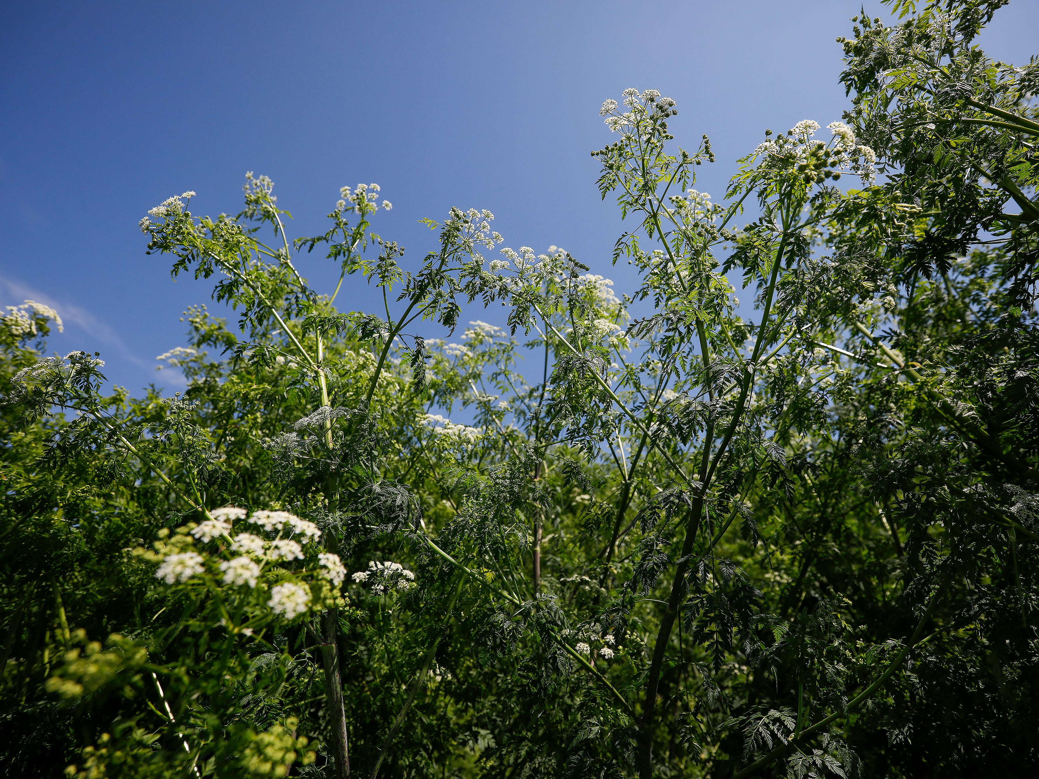 A large patch of poison hemlock is growing near the softball and soccer fields at the Killian Softball Complex.