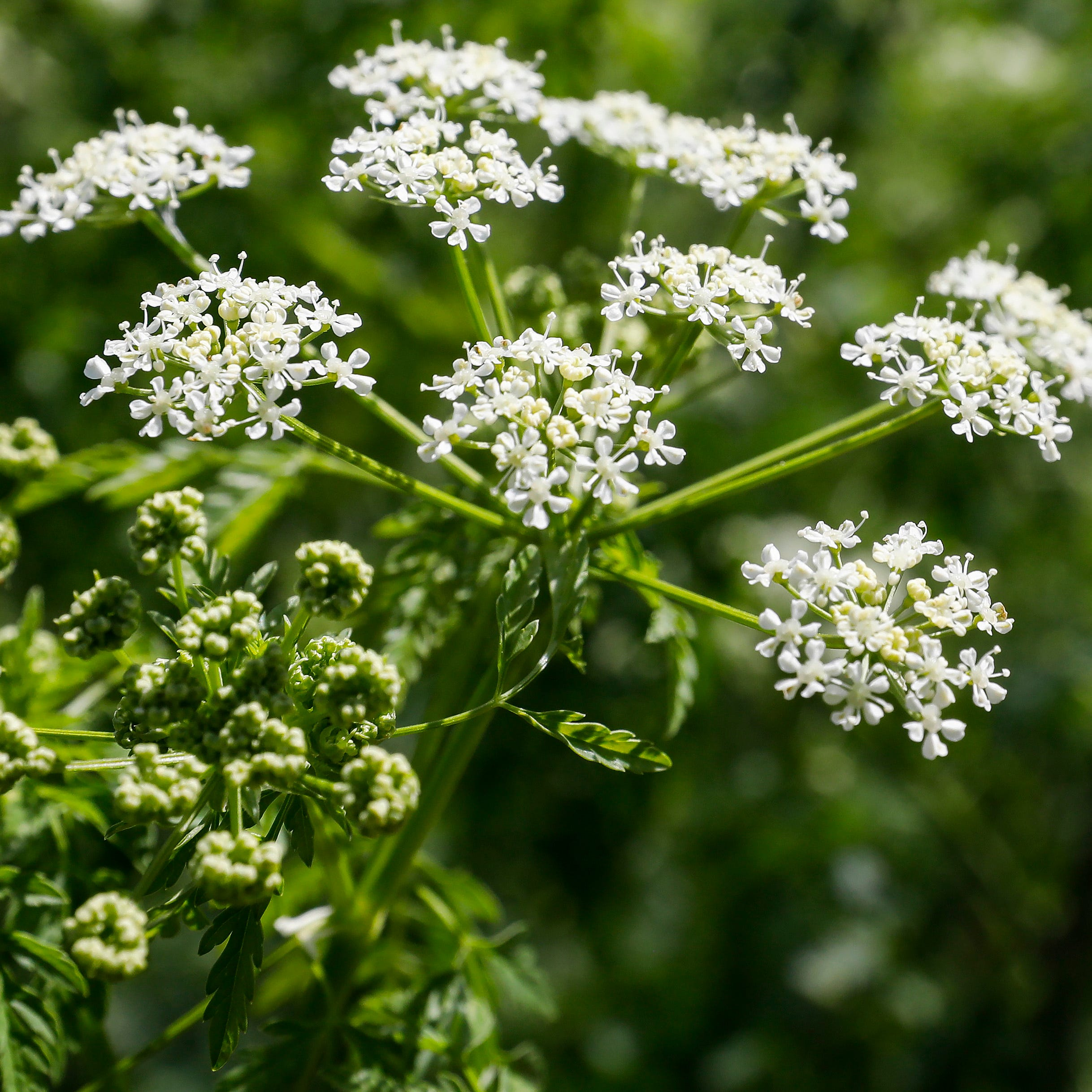 Deadly poison hemlock found growing near Killian sports fields