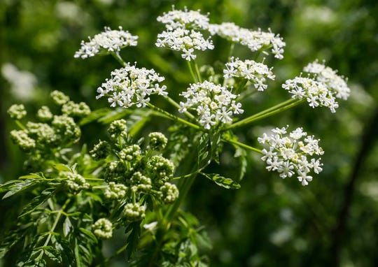 A close-up look at flowers on the poison hemlock that is growing at Killian Sports Complex.