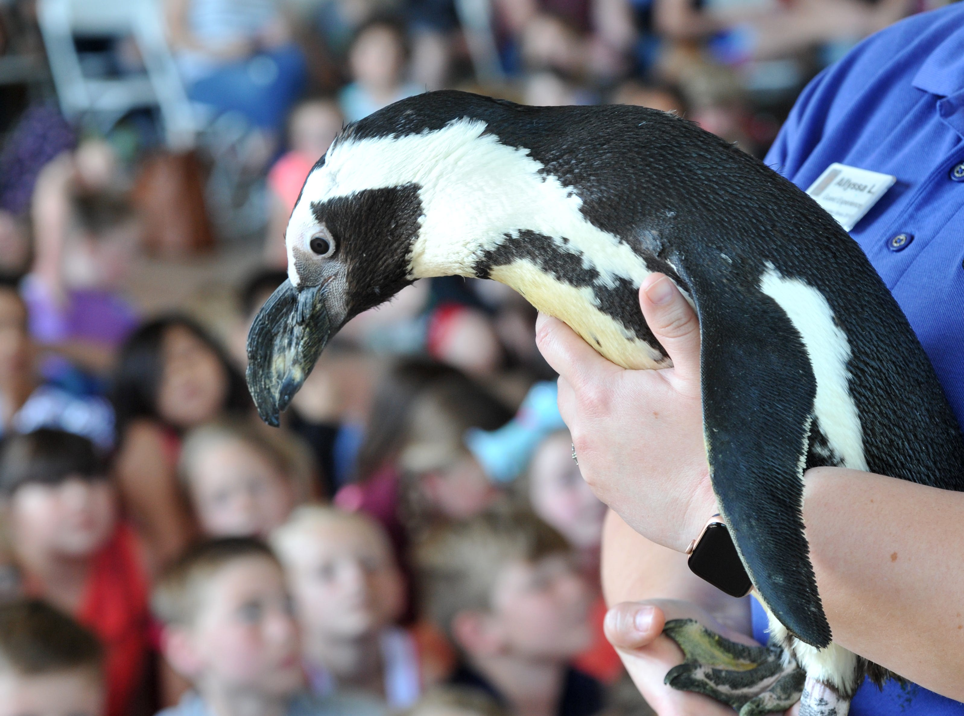 African Penguin, Donnel made the rounds, Tuesday during the Dallas Zoo's annual stop to the River Bend Nature Center.