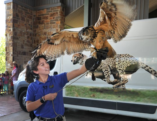 Dallas Zoo outreach specialist, Dianne Rivas prepares Kruger, a Eurasian Eagle Owl for to be shown at the River Bend Nature Center, Tuesday morning.