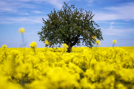 A tree is pictured in a rapeseed fields with bright-yellow flowers during a windy spring day in Duedingen, Switzerland.