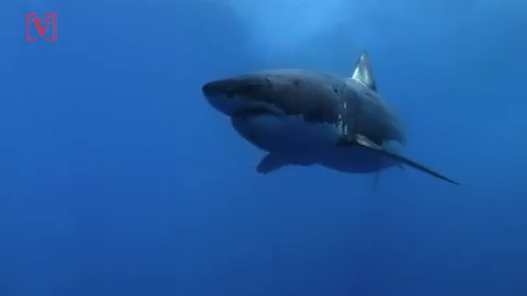 Great white sharks have been spotted off the coasts of Georgia, Florida and  the Carolinas