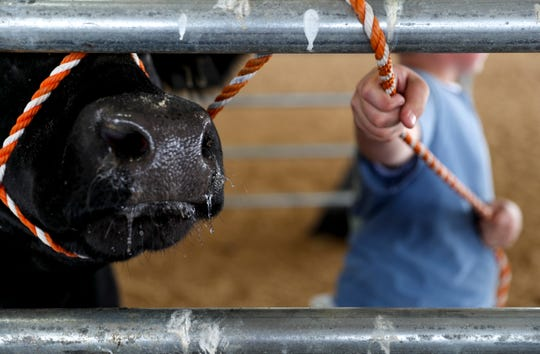 Augustus Rye, right, keeps a rope attached to his steer Boomer wrapped tight around fencing at the 69th annual Clarksville Area Junior Better Beef Show at the John Bartee Agricultural Center in Clarksville, Tenn., on Tuesday, May 14, 2019.