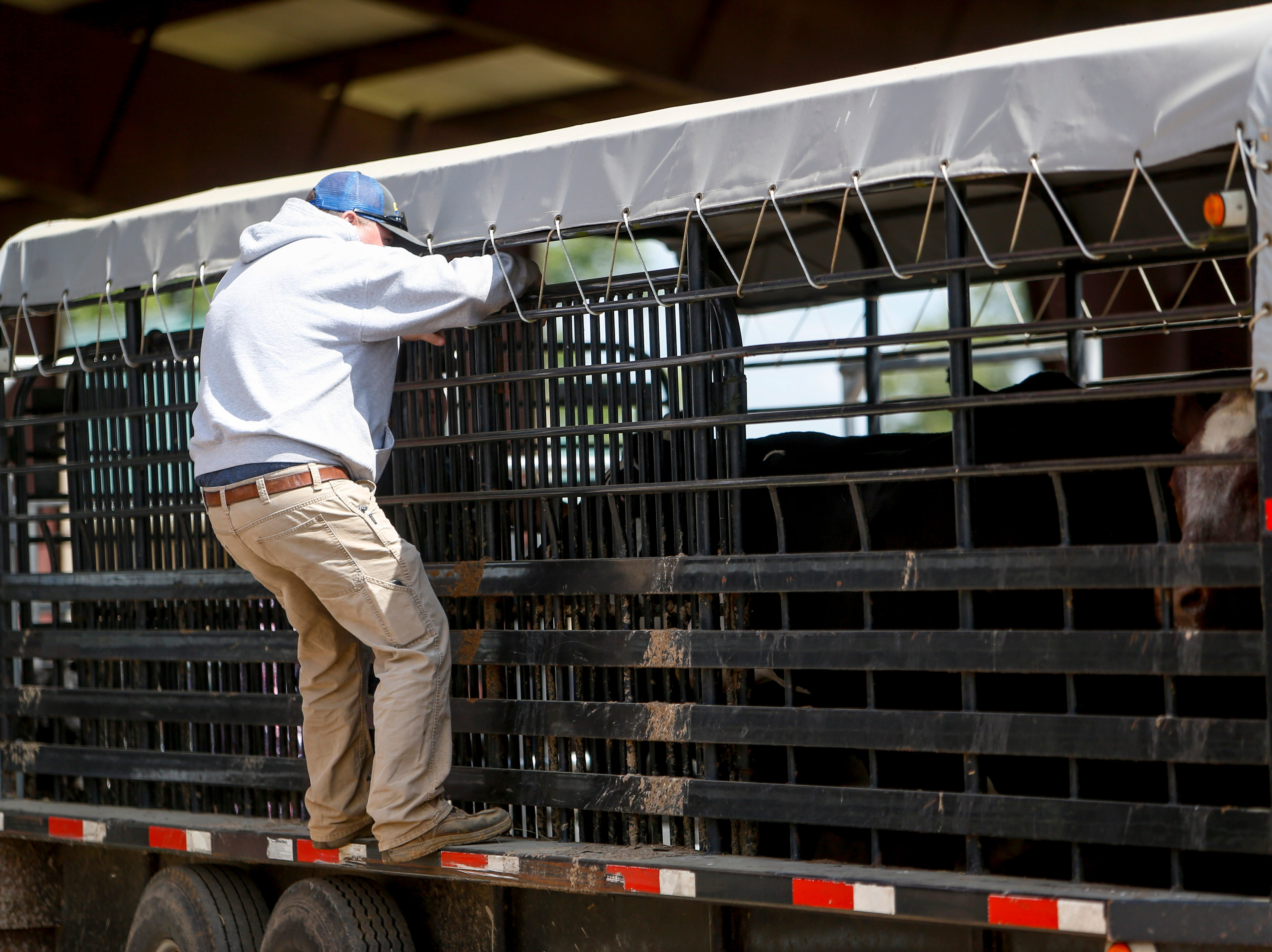 A farmhand gets up to adjust location of steer in their trailer at the 69th annual Clarksville Area Junior Better Beef Show at the John Bartee Agricultural Center in Clarksville, Tenn., on Tuesday, May 14, 2019.