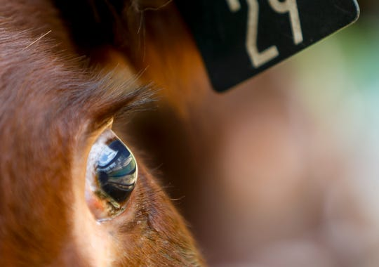 Fences and the grass outside the large event barn can be seen reflected in the eye of a steer at the John Bartee Agricultural Center in Clarksville, Tenn., on Tuesday, May 14, 2019.