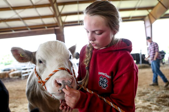Esme Rye, 10, picks leftover feed from the front of Cupid's nose before walking her to auction at the 69th annual Clarksville Area Junior Better Beef Show at the John Bartee Agricultural Center in Clarksville, Tenn., on Tuesday, May 14, 2019.