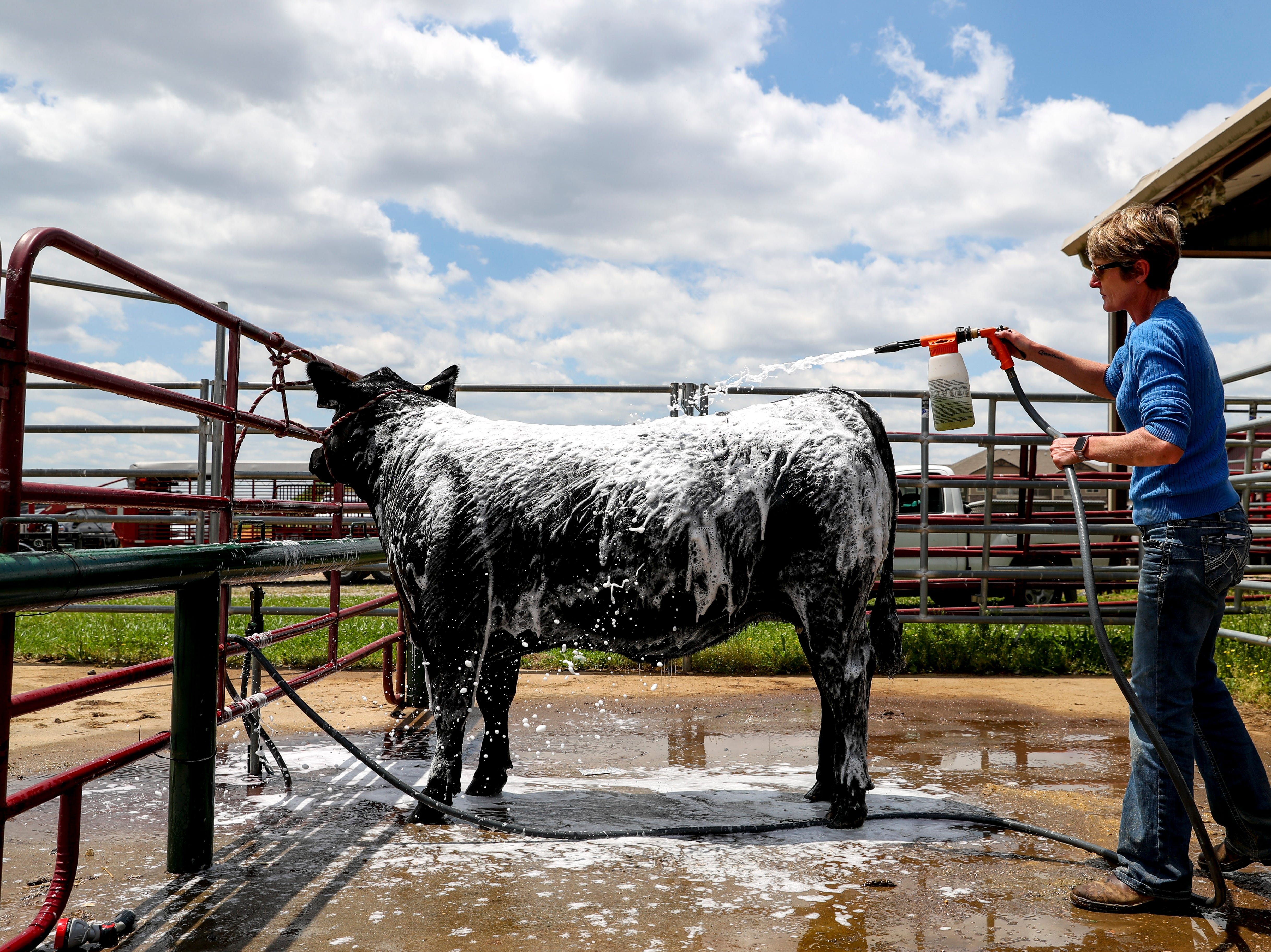 Kaylene Hansen washes off Buddy, who won class 9 at the 69th annual Clarksville Area Junior Better Beef Show at the John Bartee Agricultural Center in Clarksville, Tenn., on Tuesday, May 14, 2019.