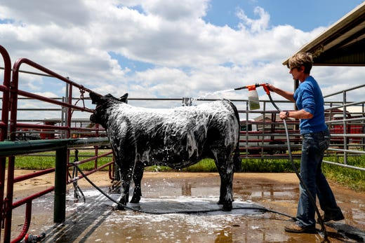 69th Annual Junior Better Beef Show Brings Steers, Tears