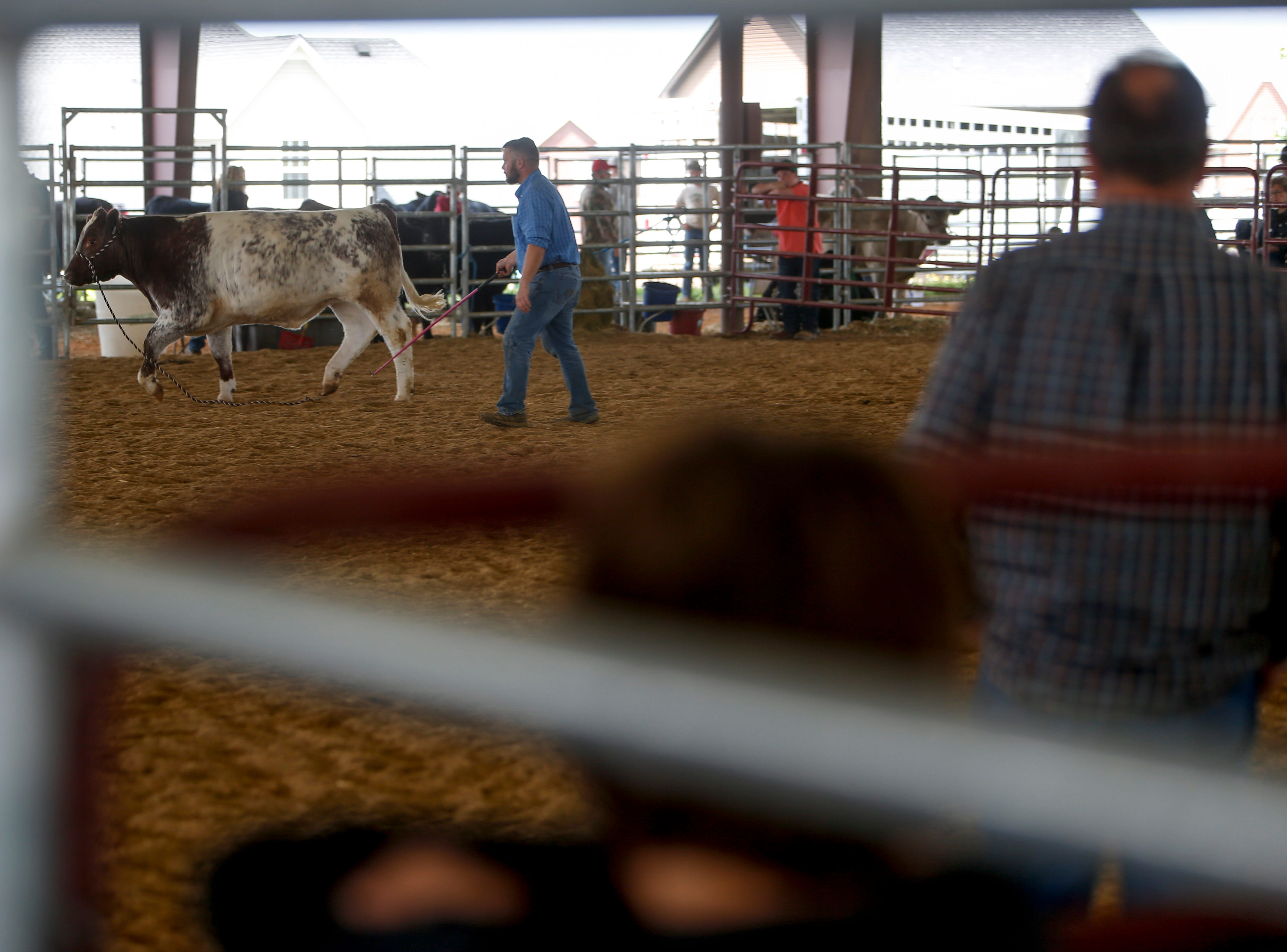 A handler tries to get a steer under control during a walk through in auction at the John Bartee Agricultural Center in Clarksville, Tenn., on Tuesday, May 14, 2019.