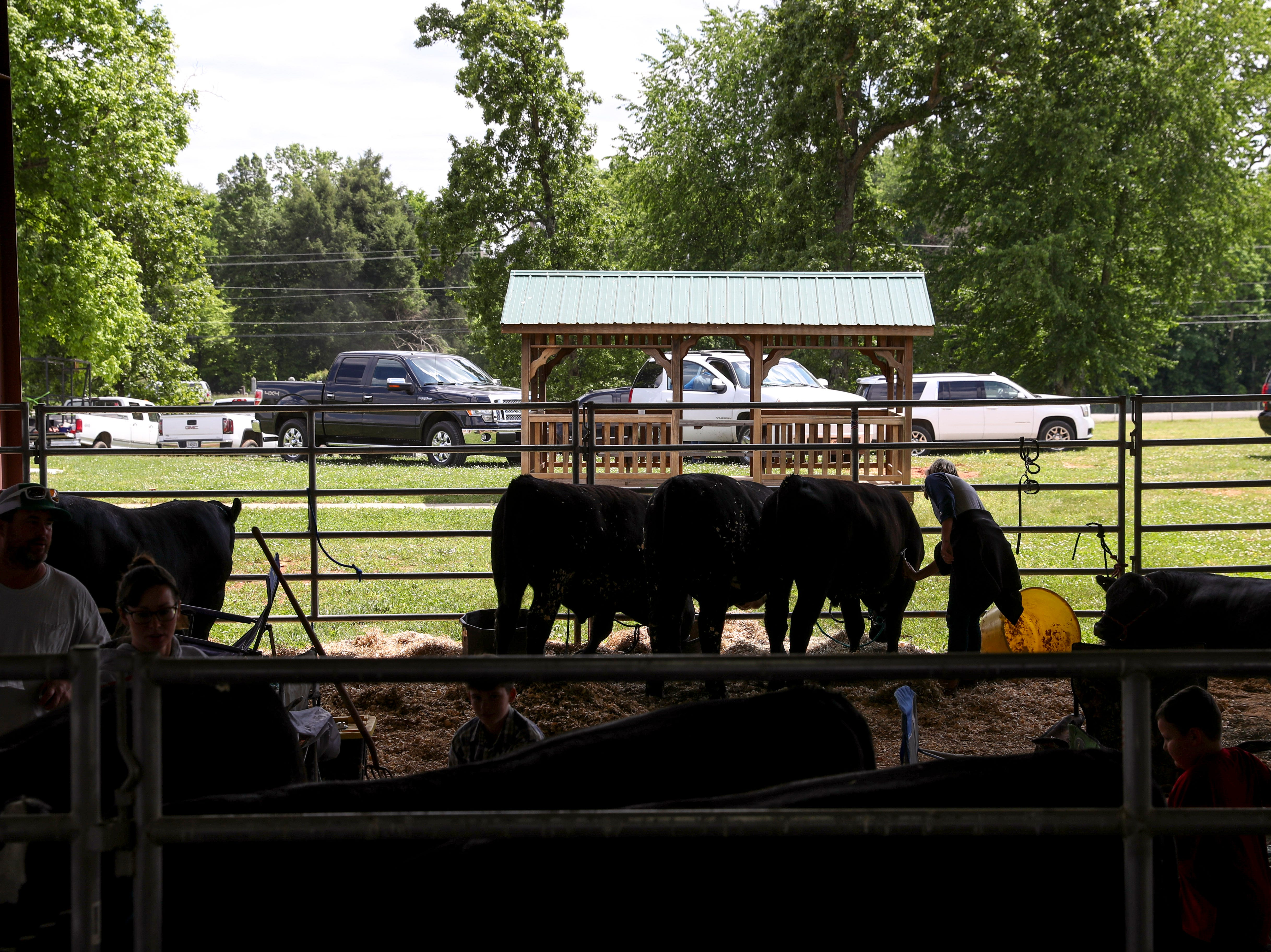 Owners clean off their steers during the auction at the 69th annual Clarksville Area Junior Better Beef Show at the John Bartee Agricultural Center in Clarksville, Tenn., on Tuesday, May 14, 2019.