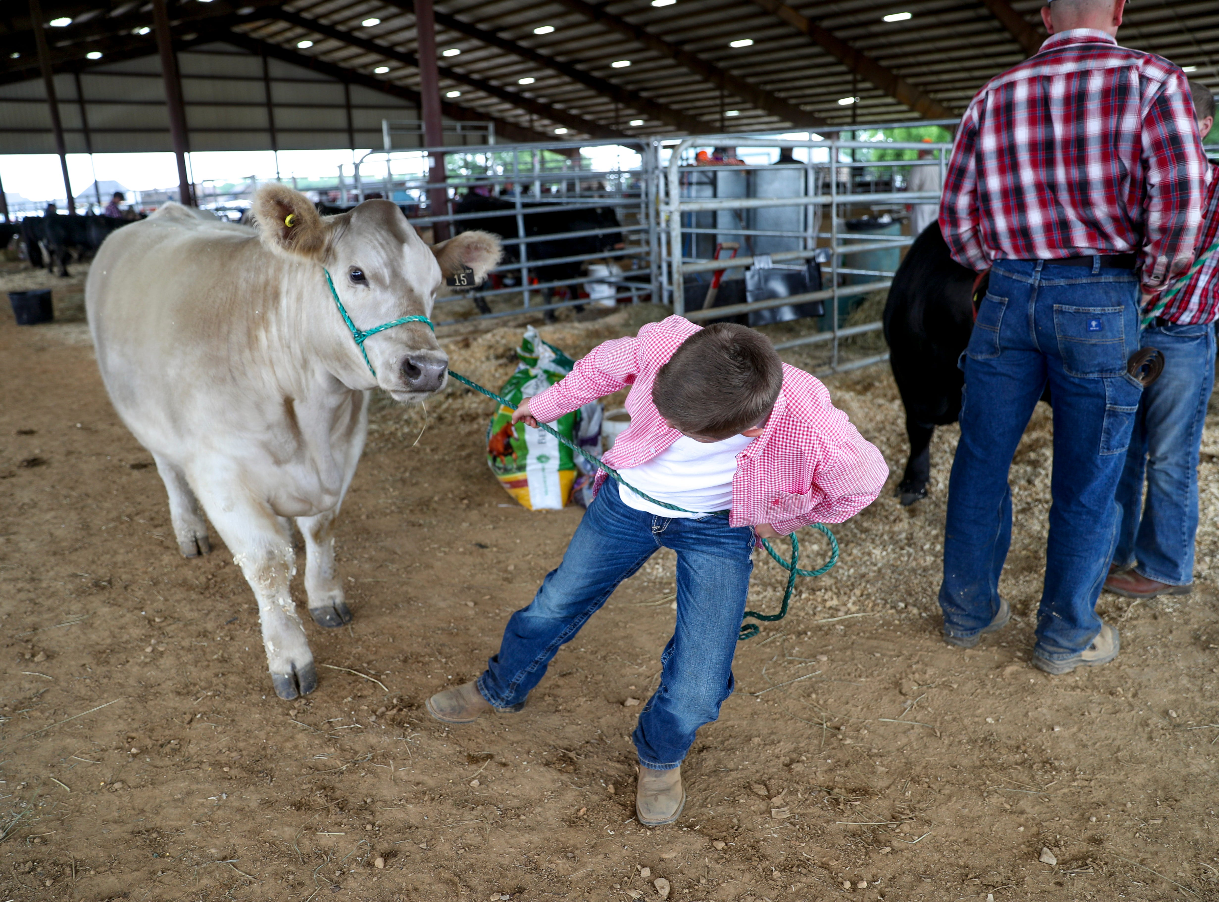 Mac Baggett tries to pull at his stubborn steer to get him to the auctioning area at the 69th annual Clarksville Area Junior Better Beef Show at the John Bartee Agricultural Center in Clarksville, Tenn., on Tuesday, May 14, 2019.