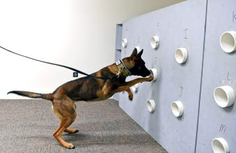New York State Police K-9s are trained to detect drugs using positive reinforcement.
