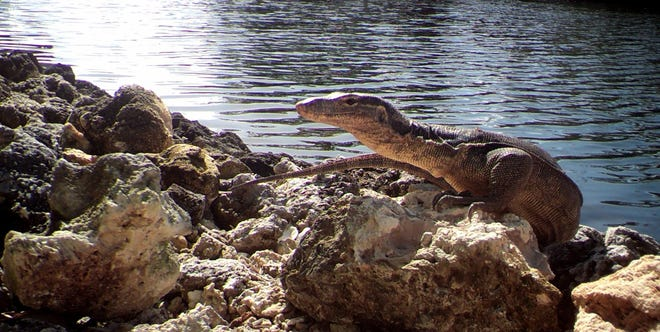 The lizard was more than 5 feet long and weighed 20 pounds.