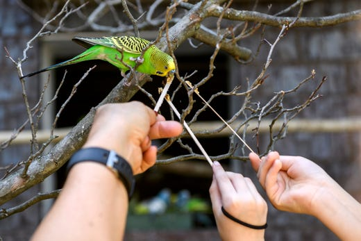 Budgies reluctant in Mesker Park Zoo aviary debut