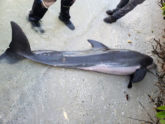 This male bottlenose dolphin  found stranded on Fort Myers Beach had eaten two feet of shower hose.