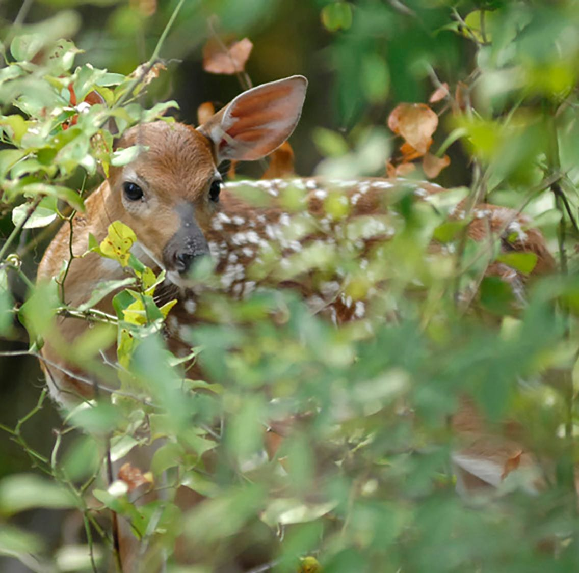 'We've never seen this before': What will south Delta flooding do to fawns?