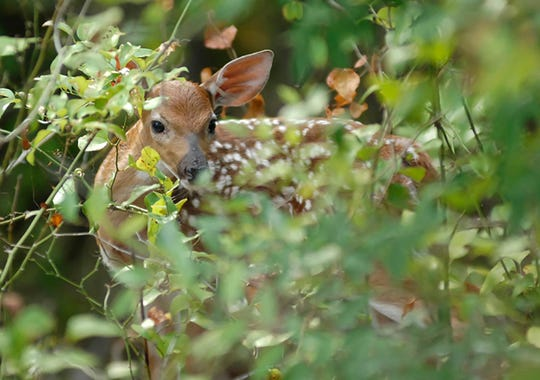 A doe will leave the fawn by itself to protect it.