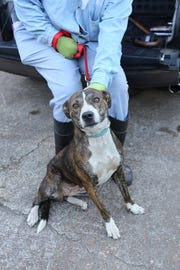 Tigger, a brindle pit bull, comes in for her spaying in Jackson, TN.