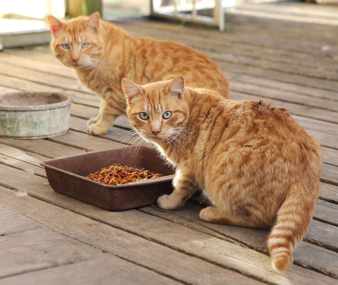 Streak #2 and White Toe, two feral cats eat dinner in Pinson, TN.