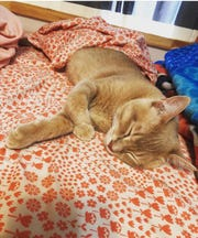 Benny, an orange tabby, lays on a bed after being neutered. He's one of the hundreds of pets West TN Spay Neuter serves in Henderson, TN