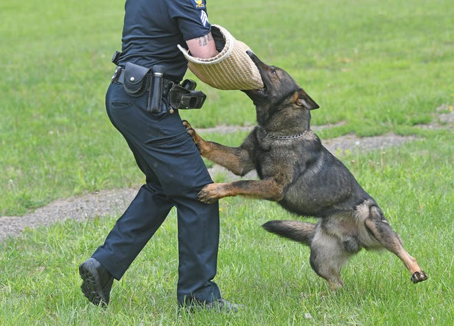 German Shepherd Mekel demonstrated one of the skills he learned that qualified him to be the newest member of the Mansfield Police Department during his graduation ceremony Friday at the Mansfield Police Department's K-9 training grounds.