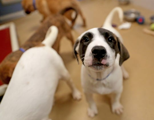 Bergman, a 2-month-old mixed-breed puppy, is up for adoption at the Wisconsin Humane Society in Milwaukee.