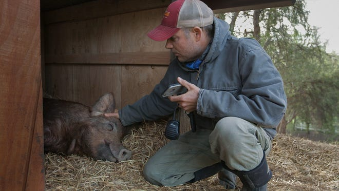 """Farmer John tries to comfort his pig, Emma, in a scene from the documentary """"The Biggest Little Farm."""""""