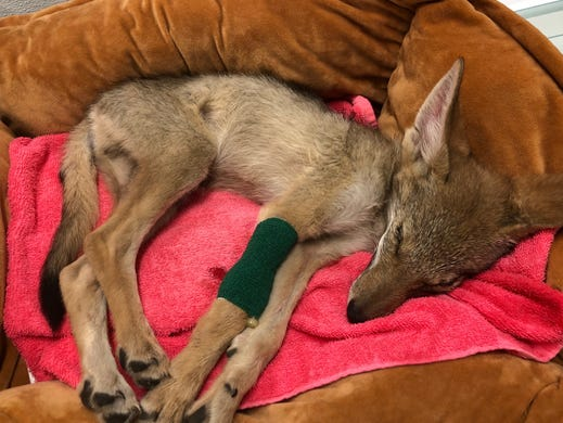 CUTE ALERT: Coyote pup rescued in Coachella Valley