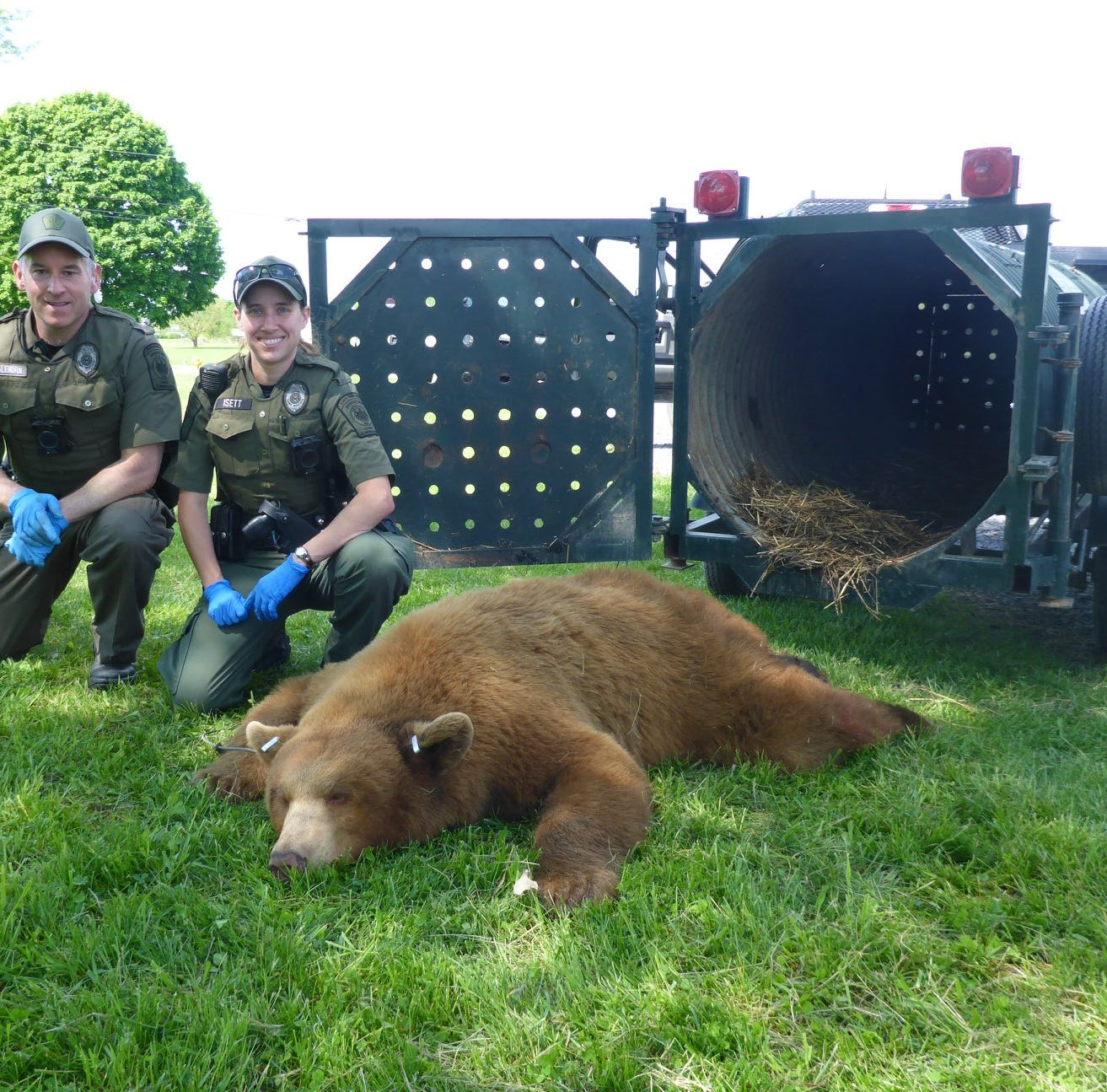 Game Commission traps cinnamon bear in central Pa., weighs over 330 pounds