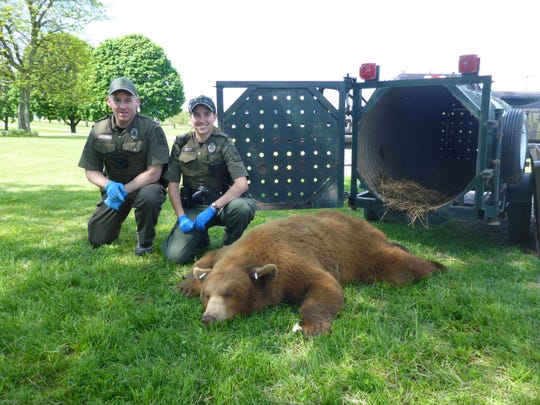 A 332-pound cinnamon bear was caught in Snyder County.