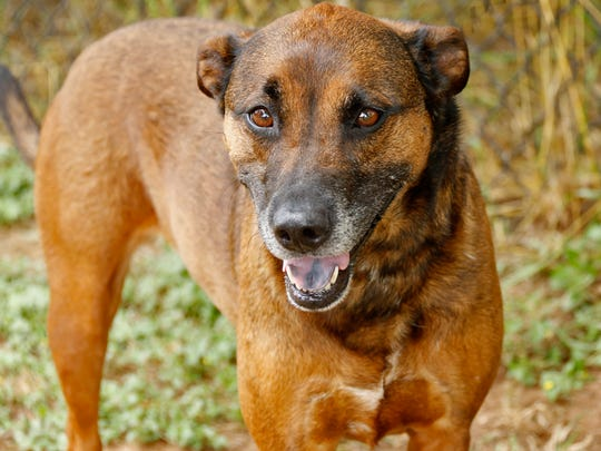 Susan, about 2 years old, is a calm and gentle shepherd mix.