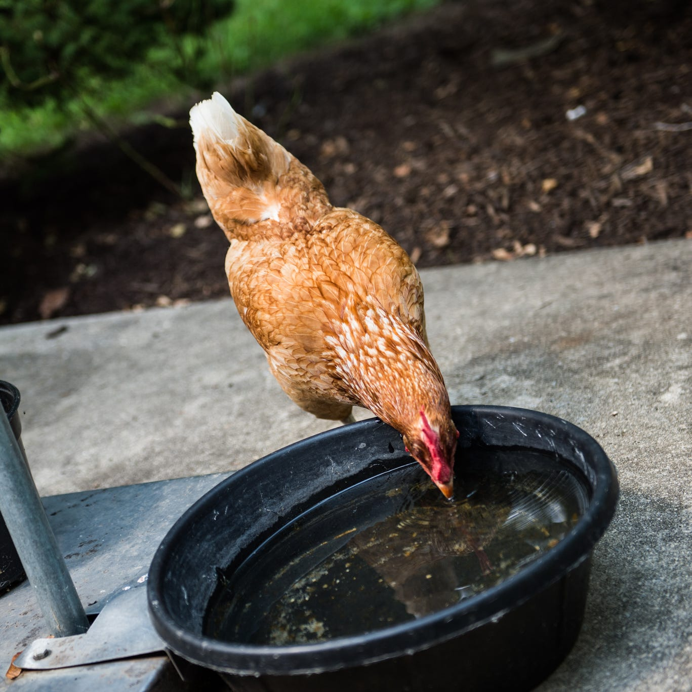 Salmonella alert: Backyard chickens cited in outbreak in Mississippi, 20 other states