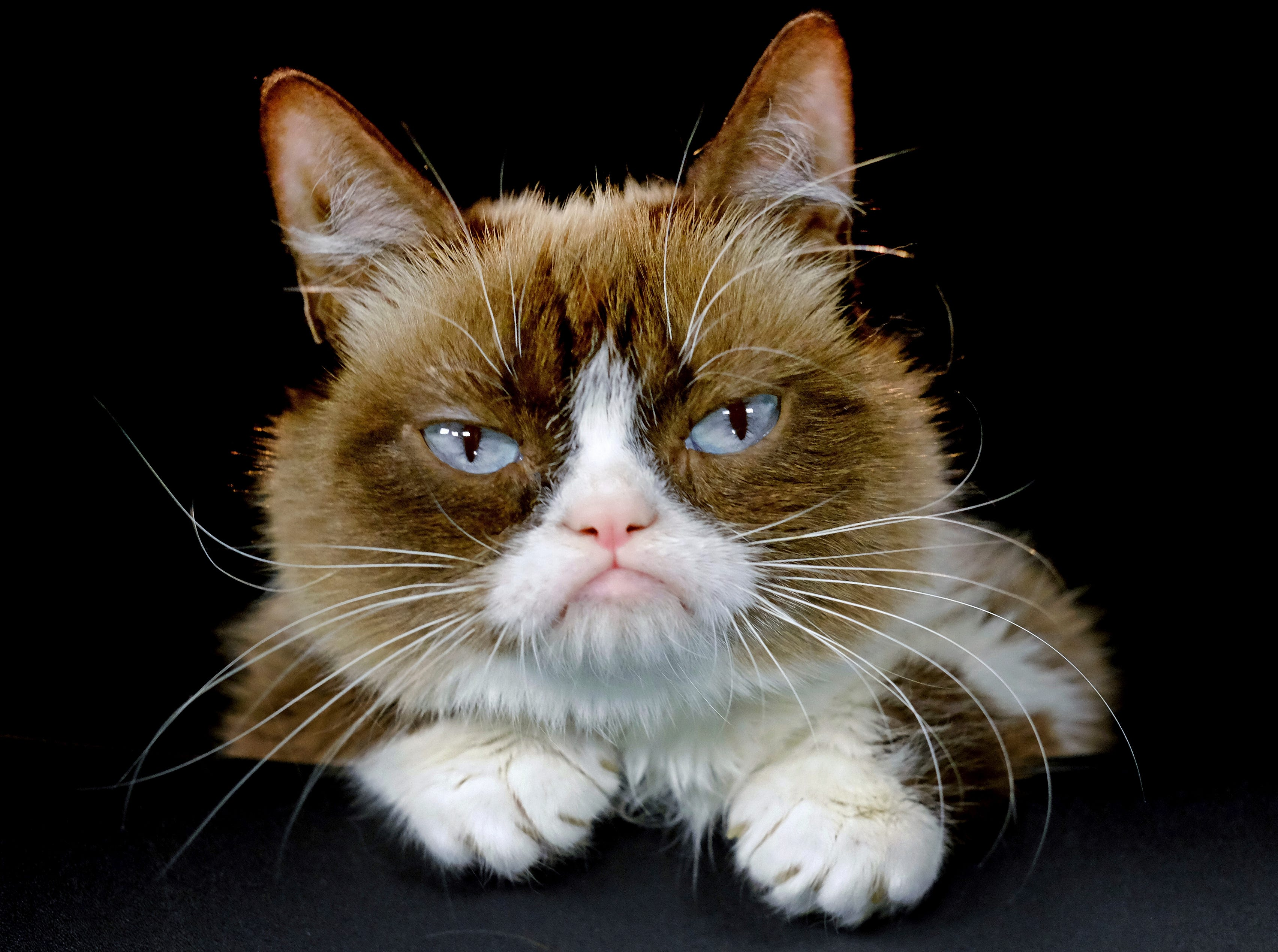 """This Dec. 1, 2015 file photo shows Grumpy Cat posing for a photo in Los Angeles. Grumpy Cat, whose sour puss became an internet sensation, has died at age 7, according to her owners. Posting on social media Friday, May 17, 2019, her owners wrote Grumpy experienced complications from a urinary tract infection and """"passed away peacefully"""" in the arms of her mother on Tuesday, May 14."""